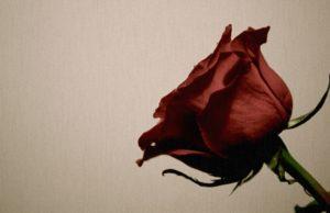 brak,ruža, cvijet